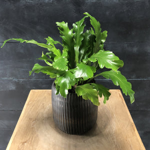 Asplenium campio in Utla pot