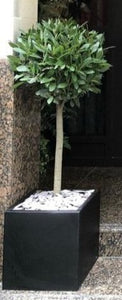 Bay tree by entrance in cube planter