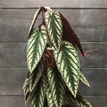 Load image into Gallery viewer, Cissus discolor (rex begonia vine)