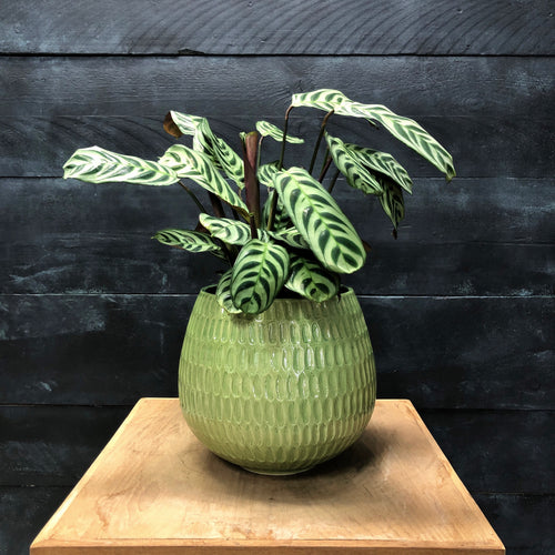 Green Coleta pot with Ctenathe