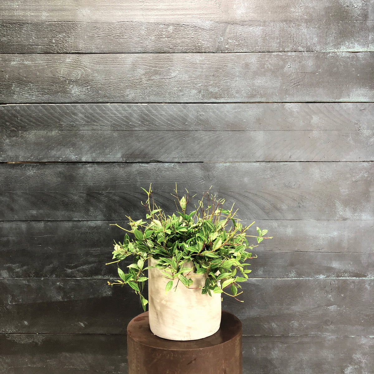 Concrete cyclinder with peperomia