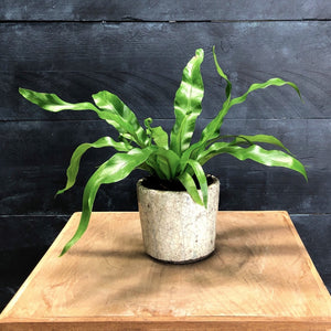 Crackle glazed planter potted up with wavy leaved Asplenium fern