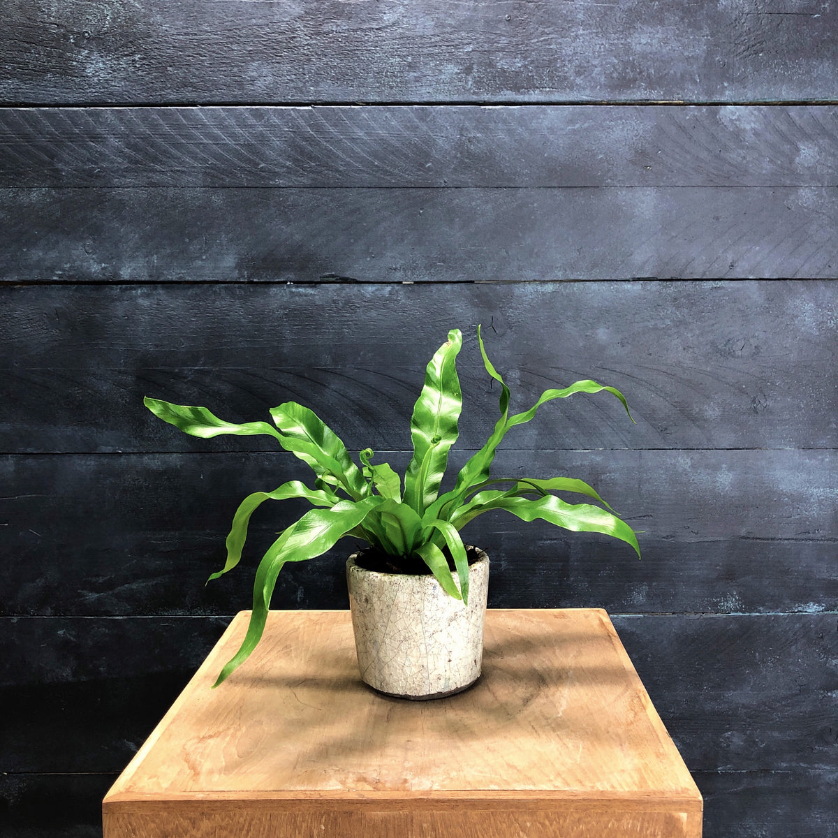 Asplenium antiquum 'Osaka' with Crackle pot (D12cm H30cm)
