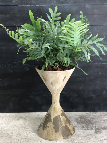 Aged diablo planter with Phlebodium fern