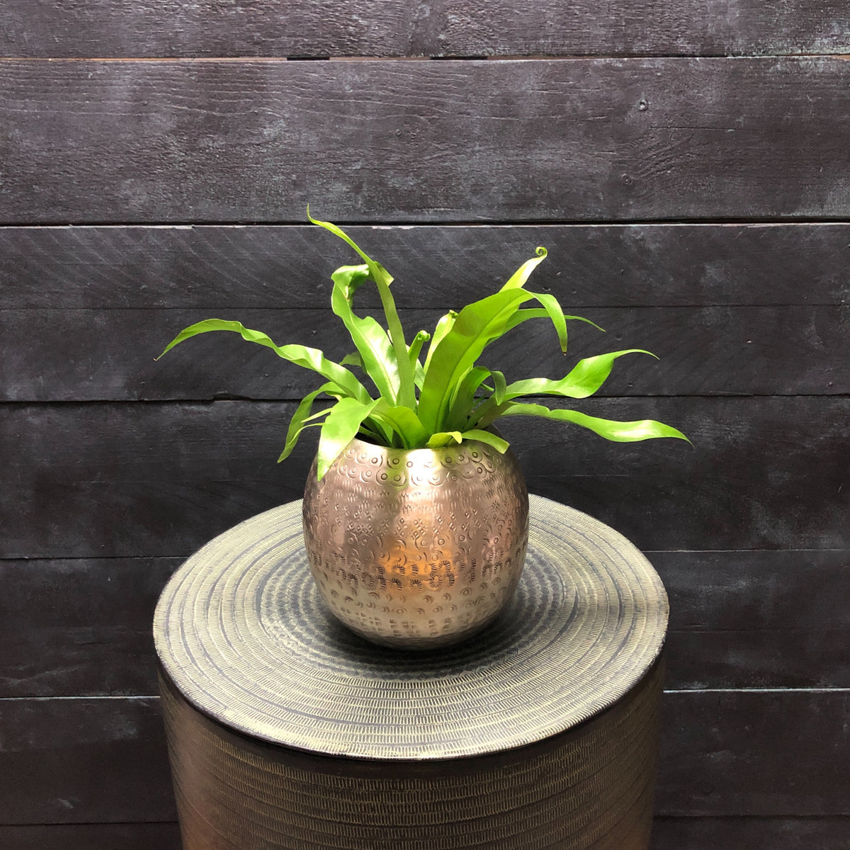 Asplenium antiquum in small Etnic planter (D16cm H30cm)