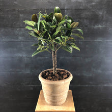 Load image into Gallery viewer, Ficus elastica in terracotta Kate Pot