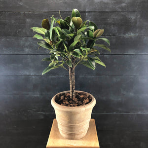 Ficus elastica in terracotta Kate Pot