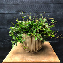 Load image into Gallery viewer, Glazed seed pot with Peperomia Angulata
