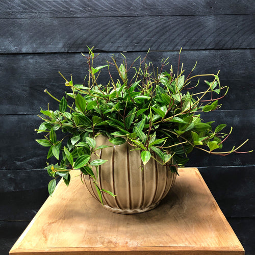 Glazed seed pot with Peperomia Angulata