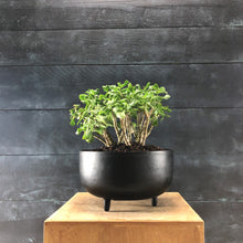 Load image into Gallery viewer, Crassula argentea (jade plant)