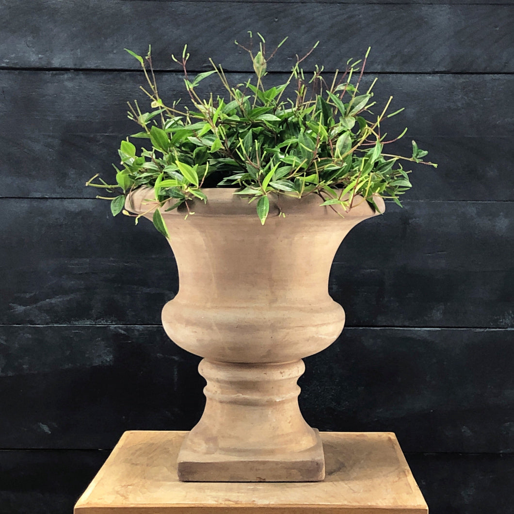 Kate aged terracotta urn with Peperomia