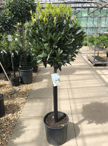 Laurus noblis (bay tree)