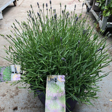 Load image into Gallery viewer, Lavandula Angustifolia (English lavender)