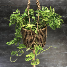Load image into Gallery viewer, Monstera obliqua in hanging basket
