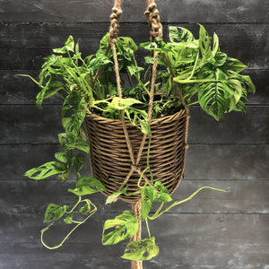 Monstera obliqua in hanging basket