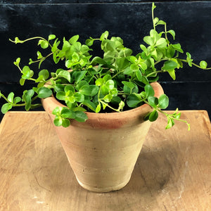 Peperomia rotundifolia in Savio pot