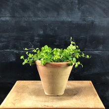 Load image into Gallery viewer, Peperomia rotundifolia in Savio pot