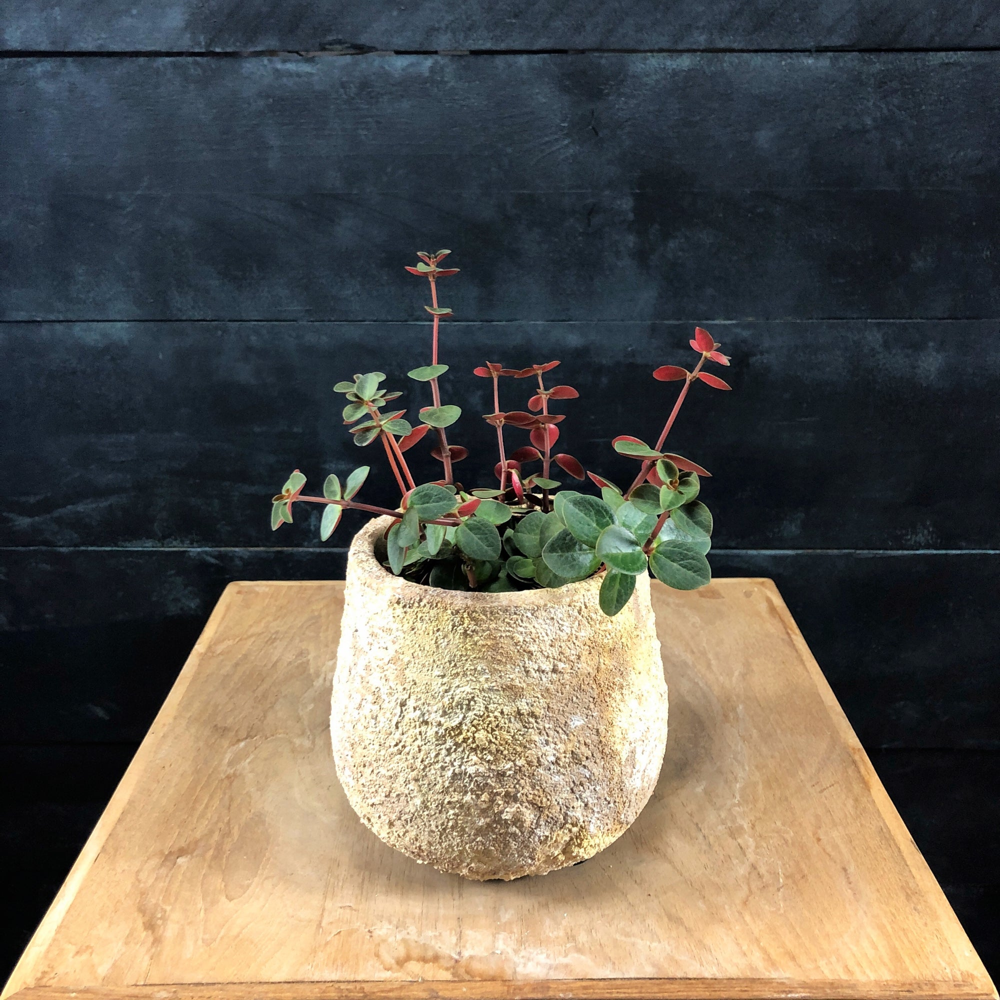 Peperomia verticillata in yellow textured Auckland pot