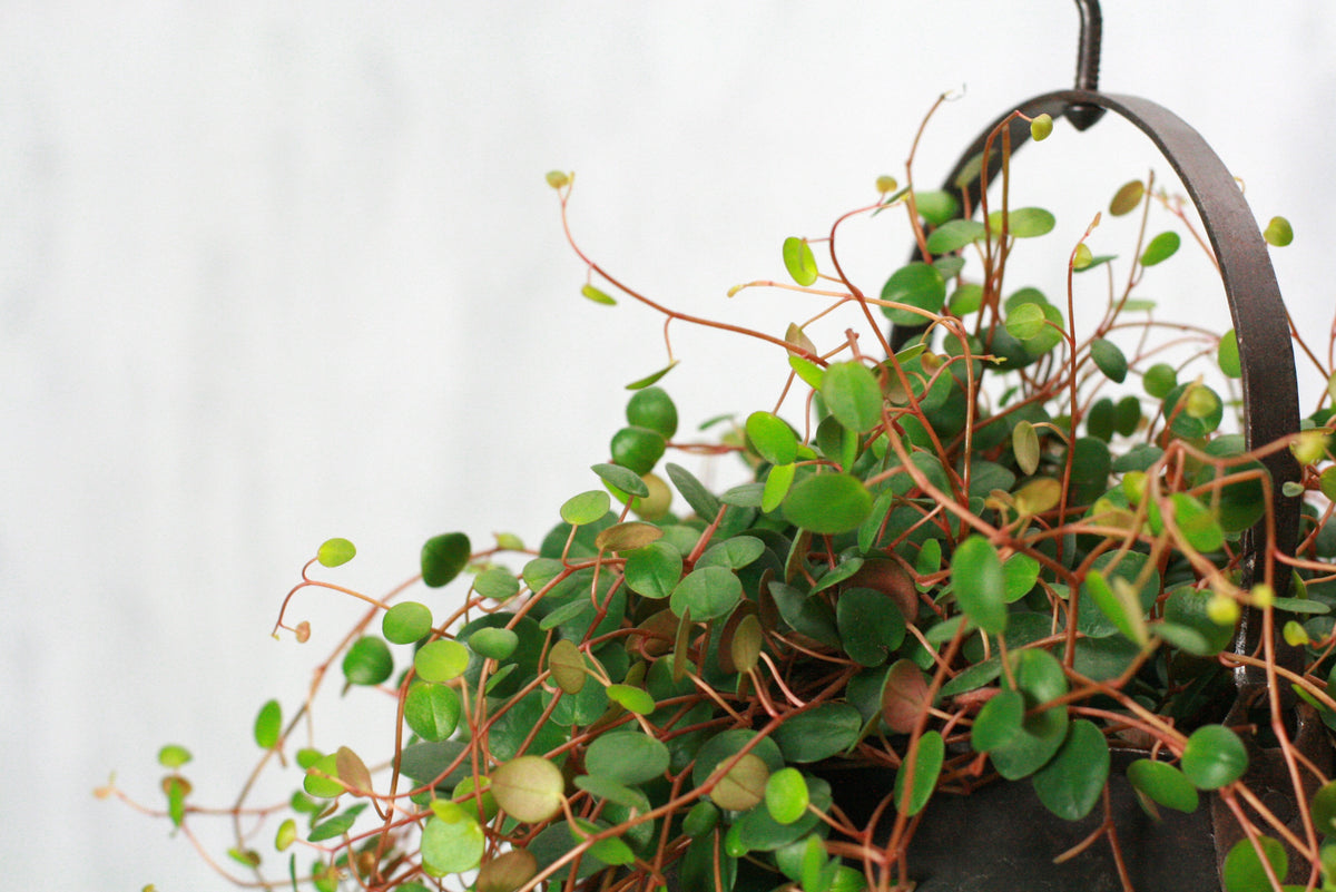 Peperomia pepperspot (Green Coins)