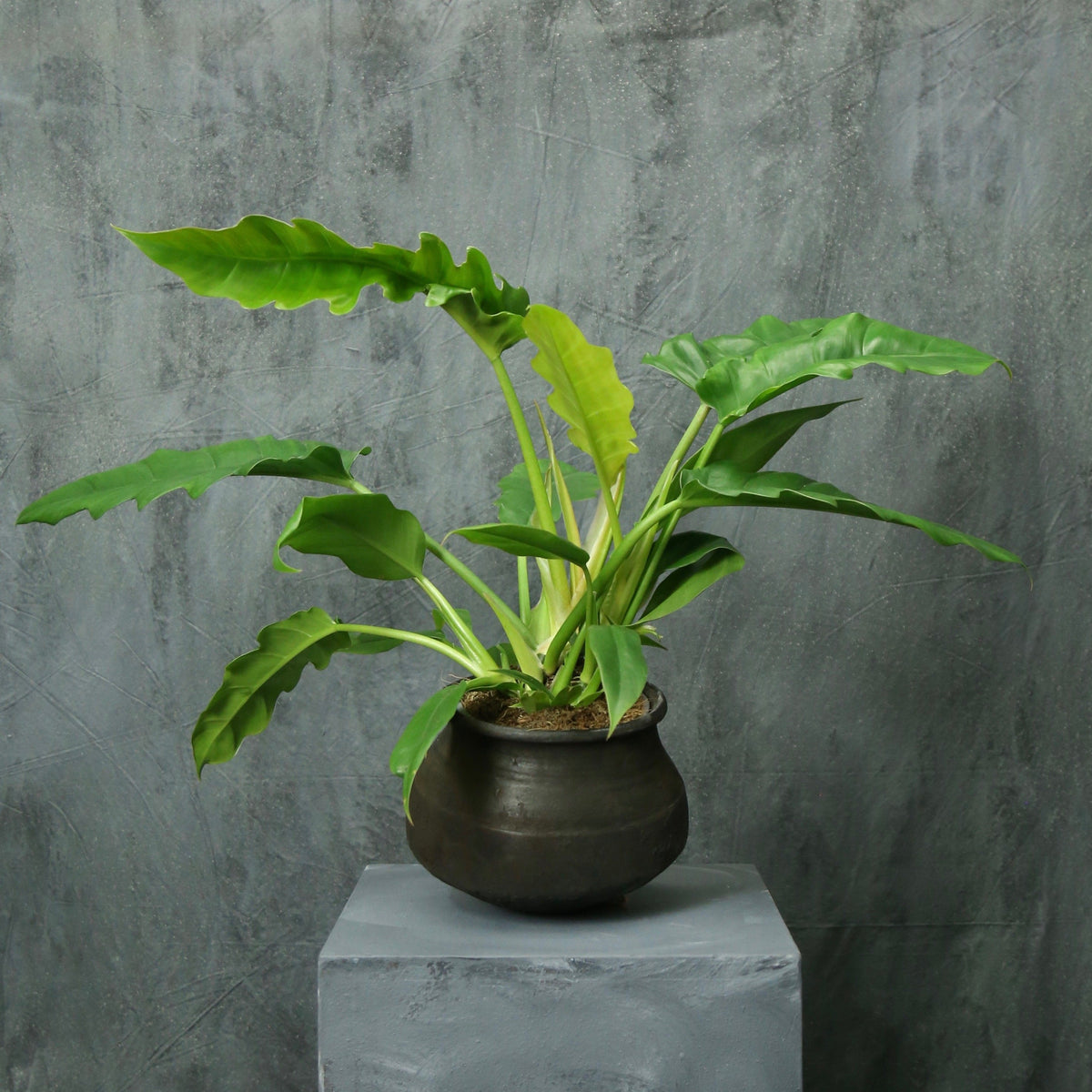 Philodendron 'narrow' (Tiger Tooth)
