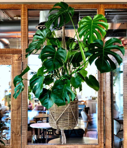 Philodendron pertusem monstera in hanging basket