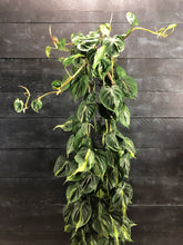 Load image into Gallery viewer, Philodendron scandens 'Brasil' (p27cm H150cm) top