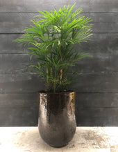 Load image into Gallery viewer, Rhapis humilis (slender lady palm)