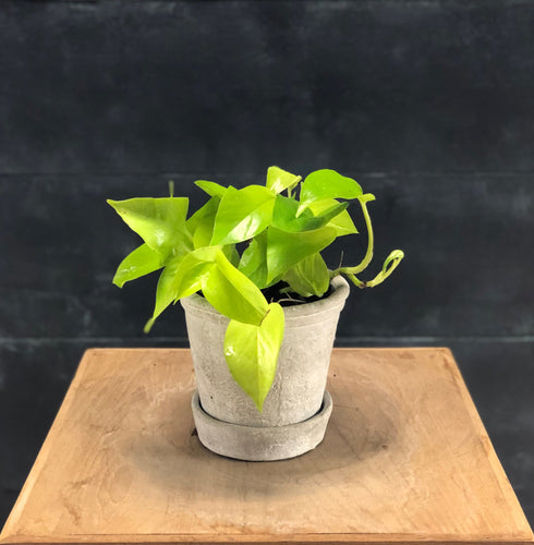 Scindapsus Golden Pothos in small Gurli pot