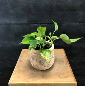 Scindapsus Marble Queen in textured small pot