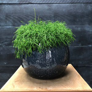 Sphere glazed planter with Rhipsalis