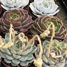 Load image into Gallery viewer, Echeveria (mixed succulents)