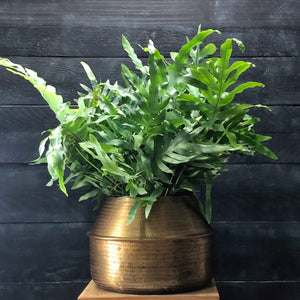 Phlebodium 'Blue Star' in textured brass planter