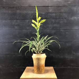 Tillandsia oerstediana potted plant