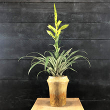 Load image into Gallery viewer, Tillandsia oerstediana potted plant