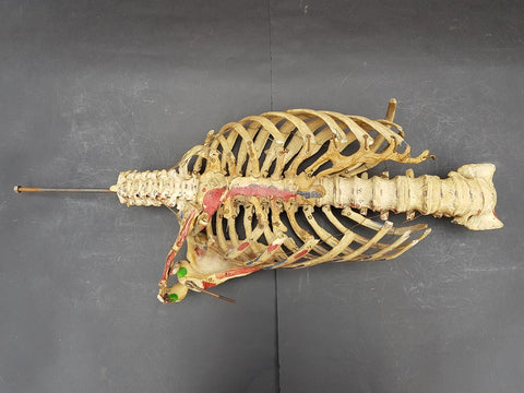 Real human partial articulated skeleton thorax and sacrum