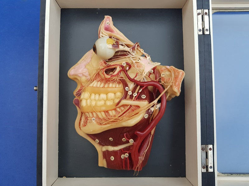 Antique German wax medical model showing muscles, nerves etc of the face.