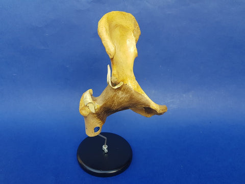 Vintage Auzoux Paris real human articulated hip medical model