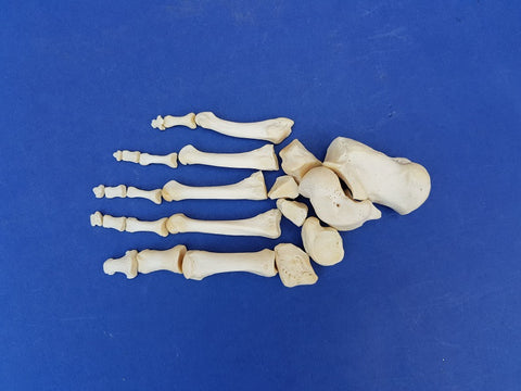 Antique real human foot bones (child?)