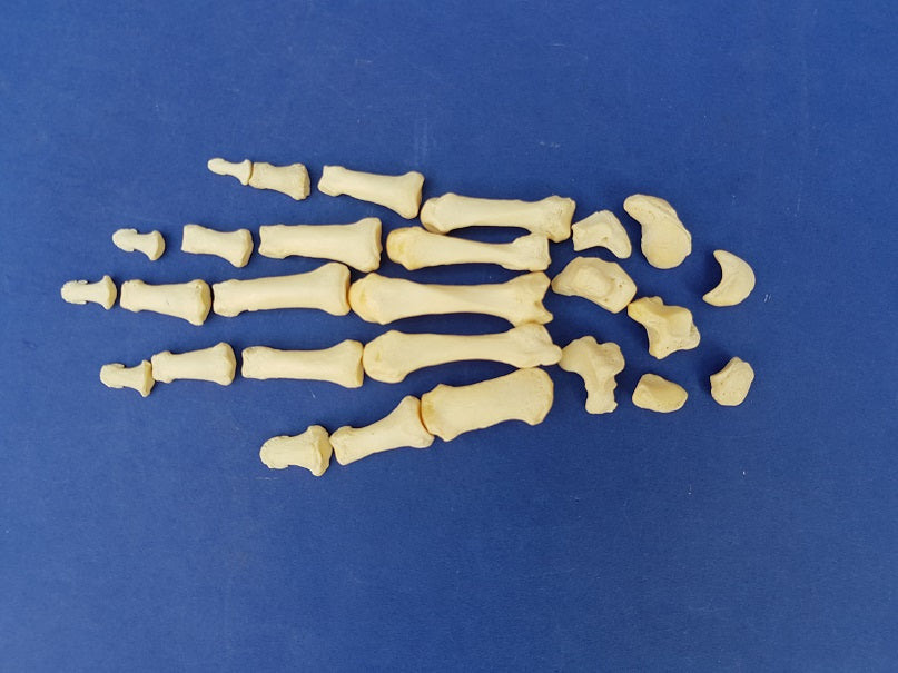 Real human medical complete hand bones for sale