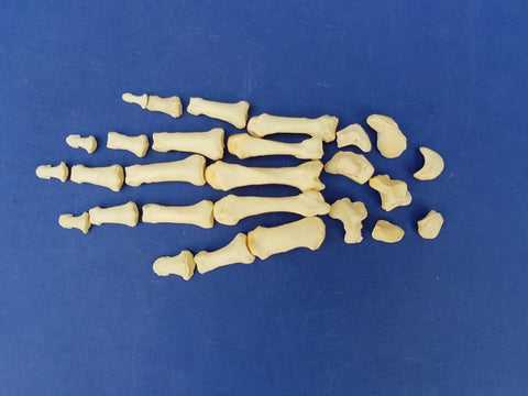 Real human medical complete hand bones