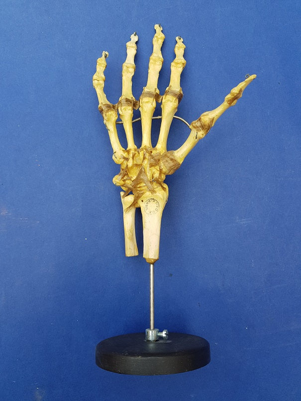 Vintage Auzoux Paris real human bone articulated hand medical model for sale