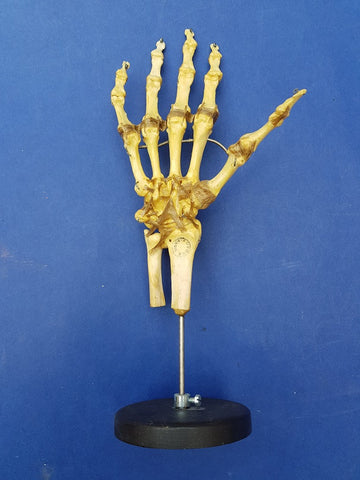 Vintage Auzoux Paris real human bone articulated hand medical model