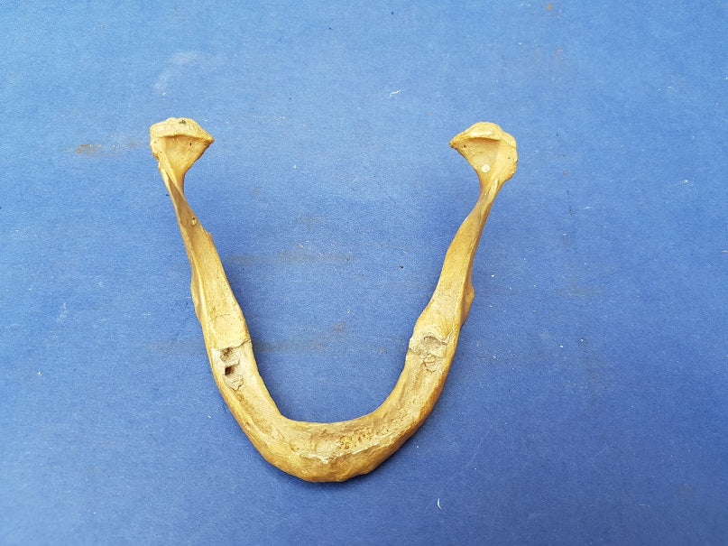 Antique real human jawbone for sale medical specimen.