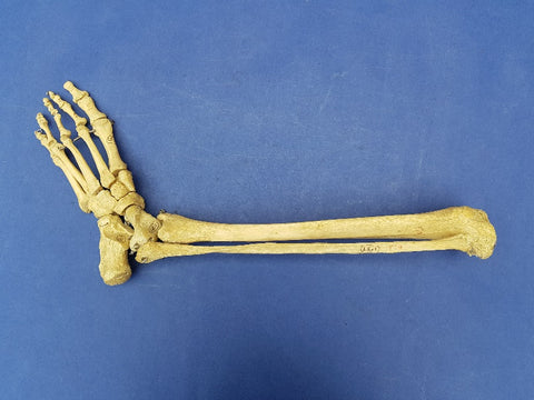 Real human articulated lower leg bones, medical specimen