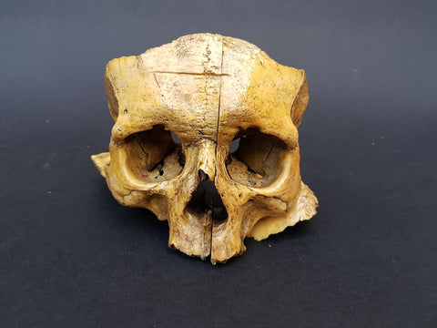 Antique real human partial disarticulated skull