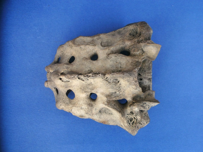 Antique medical real human sacrum bone