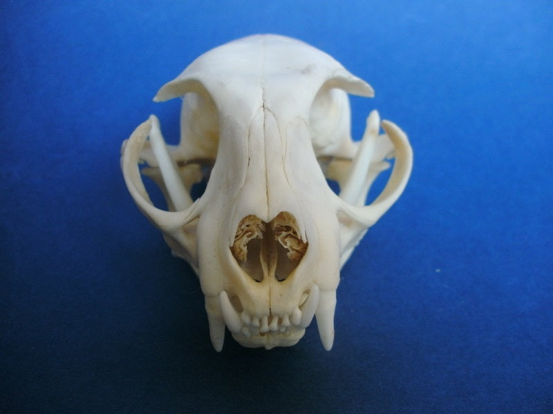 Perfect Domestic Cat skull (Felis catus)