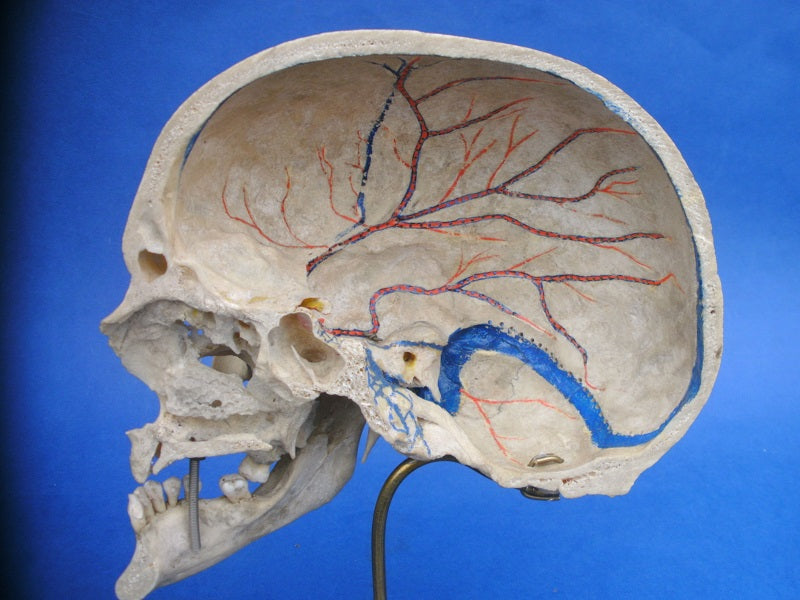 Real human medical skull sagittal section showing circulation and sinus