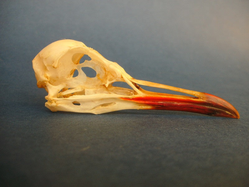Black headed gull skull (Chroicocephalus ridibundus)