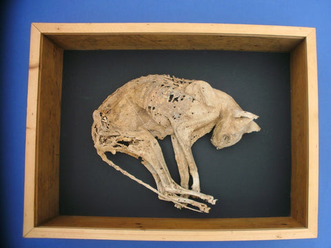 Macabre 17th Century mummified cat ward against witchcraft